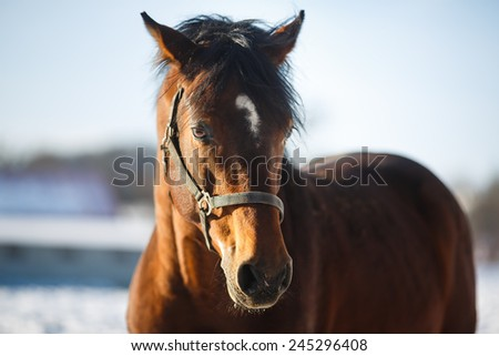 Portrait of a brown horse on the pasture - stock photo