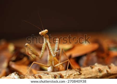 Portrait of a brown praying mantis on a bed of leaves and a dark brown background - stock photo