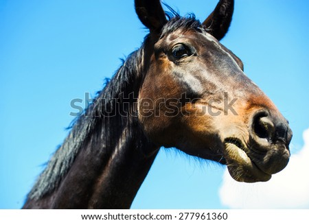 Portrait of a brown stallion.  Portrait of a sports brown horse. Thoroughbred horse. Beautiful horse. Horse head over blue sky with clouds.  - stock photo