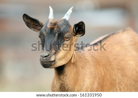 portrait of a brown young goat ram  with small horns - stock photo