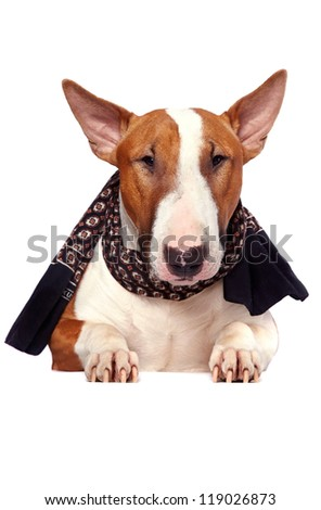 Portrait of a bull terrier  in a scarf on a white background