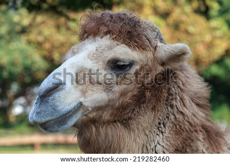 portrait of a camel