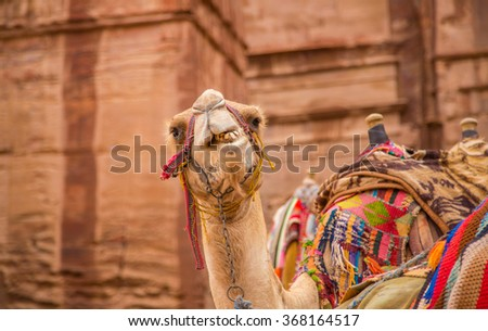 Portrait of a camel chewing in the old city of Petra