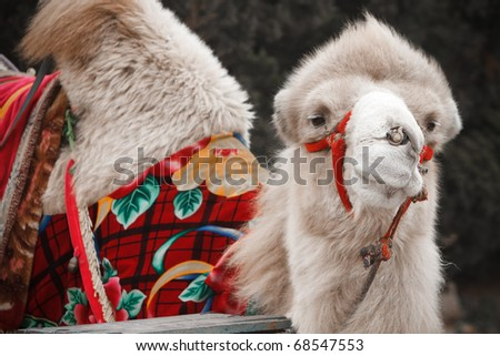 Portrait of a camel, in the park for recreation