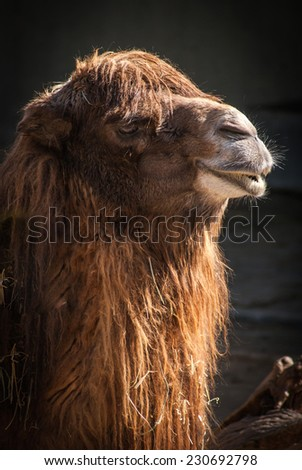 Portrait of a Camel, Madrid, Spain