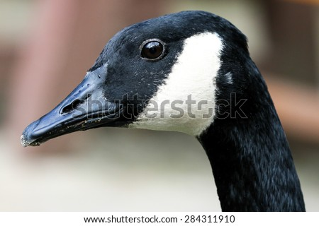 Portrait of a Canada Goose with black beak and alert look - stock photo