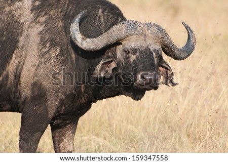 portrait of a cape buffalo in the african savannah - national park masai mara in kenya - stock photo