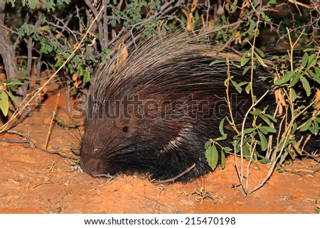 Portrait of a Cape porcupine (Hystrix africaeaustralis), South Africa - stock photo