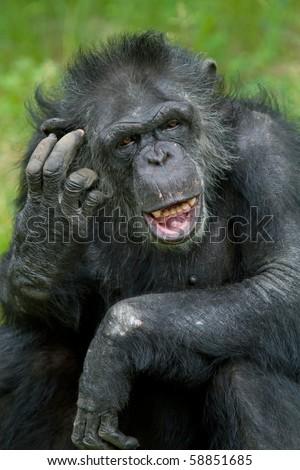 Portrait of a captive chimpanzee (Pan trodglodytes) scratching its head - stock photo