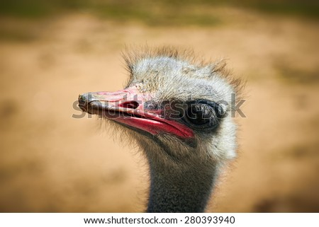 Portrait of a captive ugly ostrich, Madrid, Spain. - stock photo