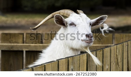 Portrait of a cashmere goat at fence. - stock photo