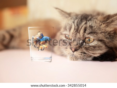 Portrait of a cat and  Siamese fighting fish. - stock photo