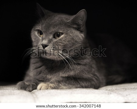 Portrait of a cat. Cheshire cat. British Shorthair cat breed. The sight of a cat. Cat's-eye. Pet the animal on a black background. Graceful and proud cat.  - stock photo