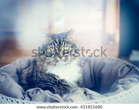 Portrait of a cat in pillow over living room background, close up - stock photo