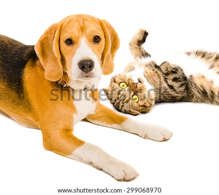 Portrait of a cat Scottish Fold  and beagle dog together, closeup, isolated on white background  - stock photo