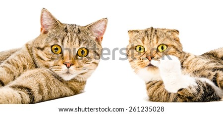 Portrait of a cat Scottish Straight and cat Scottish Fold close-up lying together isolated on white background - stock photo