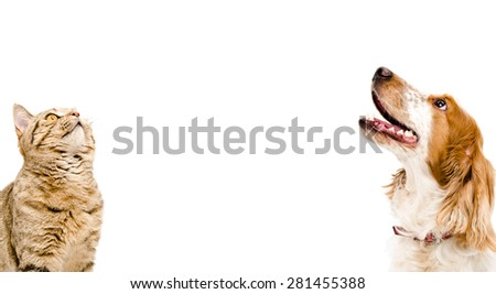 Portrait of a cat Scottish Straight and dog Russian Spaniel looking up isolated on white background - stock photo