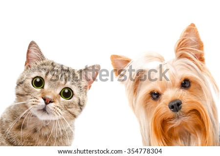 Portrait of a cat Scottish Straight and Yorkshire terrier, closeup, isolated on a white background