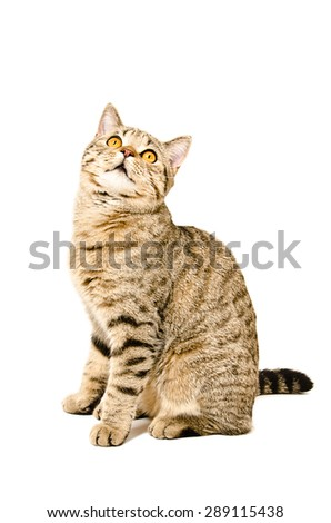 Portrait of a cat Scottish Straight sitting, looking up, isolated on a white background - stock photo