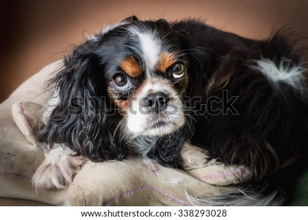 Portrait of a cavalier king breed dog - stock photo
