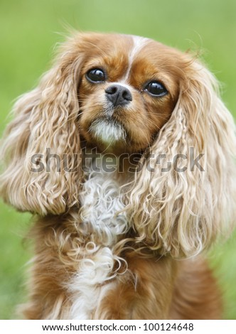 Portrait of a  Cavalier King Charles Spaniel - stock photo