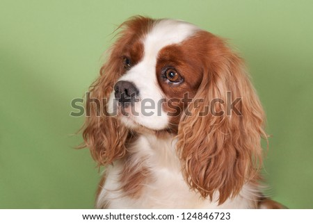 Portrait of a Cavalier King Charles Spaniel on a green backgroun