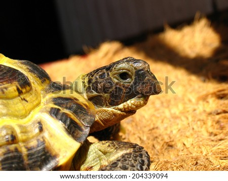 Portrait of a Central Asian tortoise (Agrionemys horsfieldii)  - stock photo