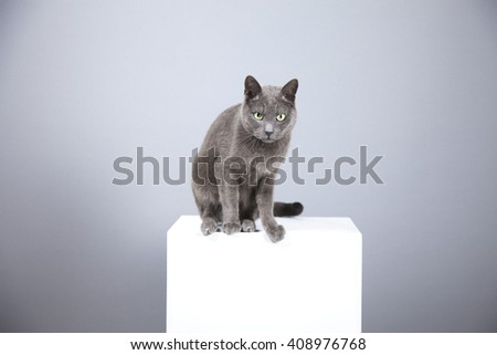 portrait of a charming gray cat, posing on a pedestal, studio shooting on middle gray background - stock photo