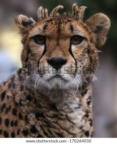 portrait of a cheetah. - stock photo