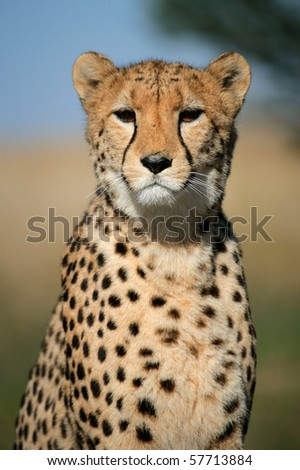 Portrait of a cheetah (Acinonyx jubatus) sitting upright, South Africa - stock photo