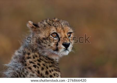 Portrait of a Cheetah cub in Masai Mara, Kenya - stock photo