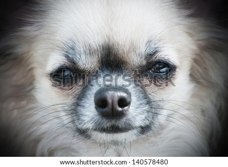 portrait of a chihuahua dog - stock photo