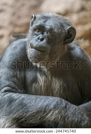 Portrait of a chimpanzee. Canary Islands , Tenerife, Lora Park Zoo ./ Meaningful look and expression of the face of the adult male chimpanzee.