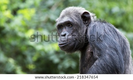Portrait of a chimpanzee with room for text