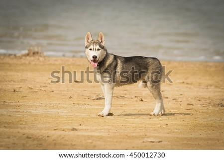 Portrait of a close-up dog Siberian Husky Puppy. River landscape. Northern sled dog breeds. - stock photo