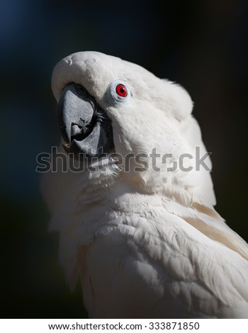 Portrait of a cockatoo on dark background - stock photo
