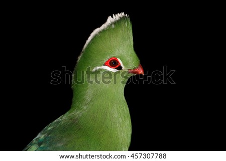 Portrait of a colorful Knysna turaco (Tauraco corythaix) on black, South Africa
