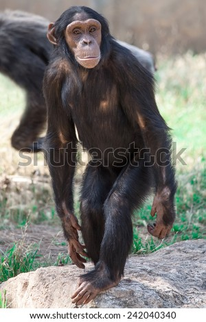portrait of a common chimpanzee - stock photo