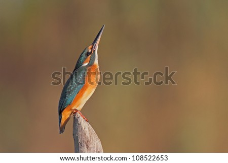Portrait of a Common Kingfisher bathed in morning light as if in prayer