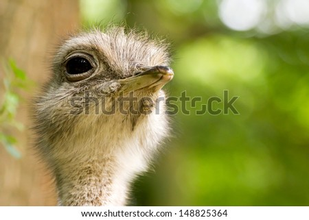 Portrait of a common Rhea