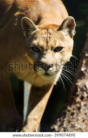 Portrait of a cougar, mountain lion, puma, panther - stock photo