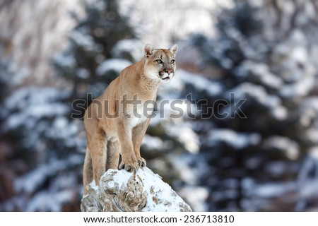 Portrait of a cougar, mountain lion, puma, panther, striking a pose on a fallen tree, Winter scene in the woods, Young Canadian cougar - stock photo