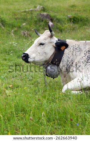 portrait of a cow on a green meadow - stock photo