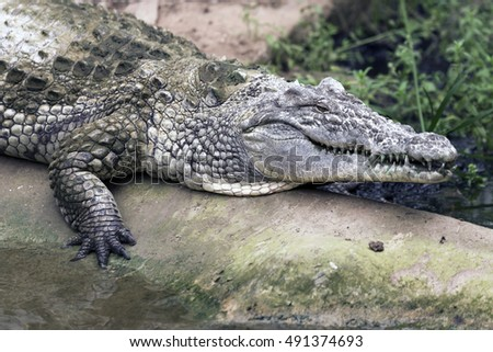 Portrait of a Crocodile  in a zoo.