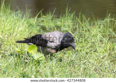 Portrait of a crow in the green grass - stock photo