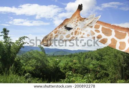Portrait of a curious giraffe - stock photo