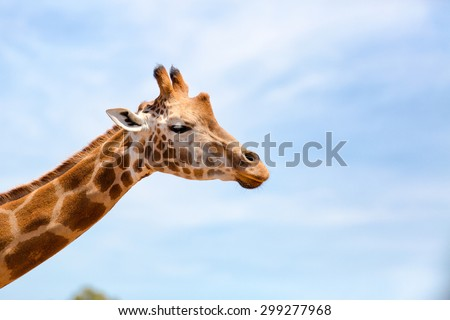 Portrait of a curious giraffe (Giraffa camelopardalis) over blue sky with white clouds in wildlife sanctuary. Australia - stock photo