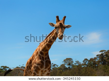 Portrait of a curious giraffe (Giraffa camelopardalis) over blue sky with white clouds in wildlife sanctuary. - stock photo