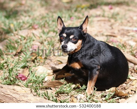 portrait of a cute black fat lovely miniature pincher dog making funny face selective focus shallow depth of field sitting outdoor on country home garden floor with blur natural background