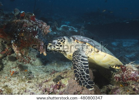Portrait of a cute but endangered Hawksbill Turtle (Eretmochelys imbricata) feeding at a tropical offshore coral reef, in the popular Indian ocean holiday destination of the Maldives Islands